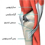 آناتومی عضلات زانو