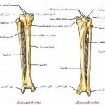 آناتومی ساق – استخوان