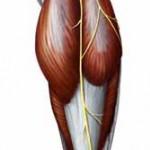 آناتومی ساق – عصب