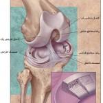 آناتومی منیسک زانو