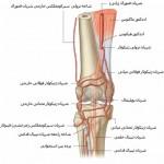 آناتومی رگ ها و عصب های زانو