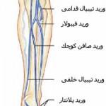 آناتومی ساق – عروق