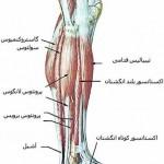 آناتومی ساق – عضلات خارجی