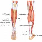 آناتومی ساق – عضلات خلفی