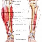 آناتومی ساق – عضلات قدامی