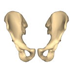 Hip_bone_-_close-up_-_anterior_view